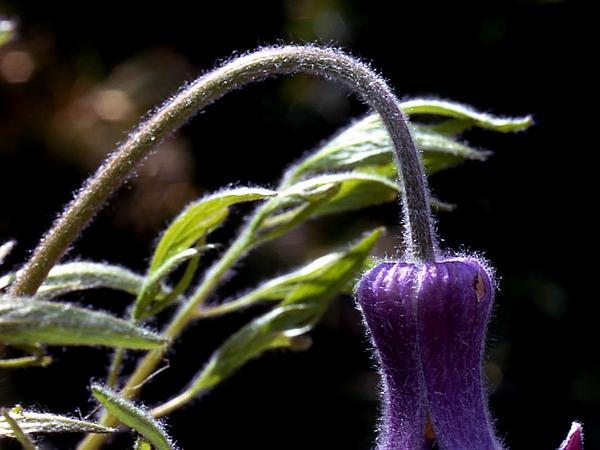 Hairy Clematis (Clematis Hirsutissima) https://www.sagebud.com/hairy-clematis-clematis-hirsutissima