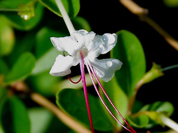 Embrert (Clerodendrum Inerme) https://www.sagebud.com/embrert-clerodendrum-inerme