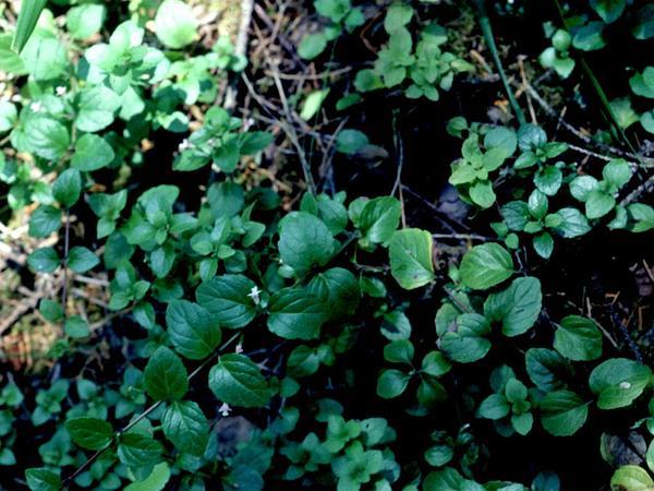 Clinopodium (Clinopodium) https://www.sagebud.com/clinopodium-clinopodium