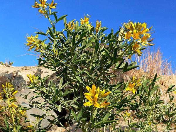 Bladderpod Spiderflower (Cleome Isomeris) https://www.sagebud.com/bladderpod-spiderflower-cleome-isomeris