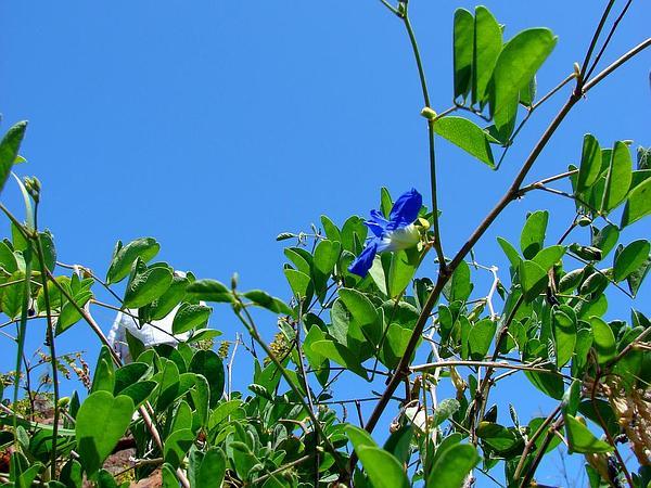 Pigeonwings (Clitoria) https://www.sagebud.com/pigeonwings-clitoria