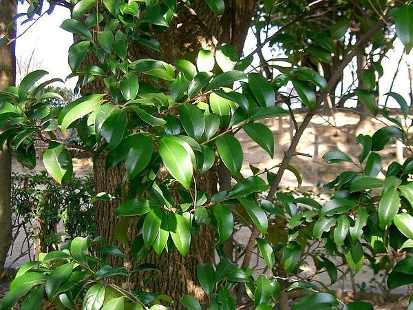 Sakaki (Cleyera Japonica) https://www.sagebud.com/sakaki-cleyera-japonica