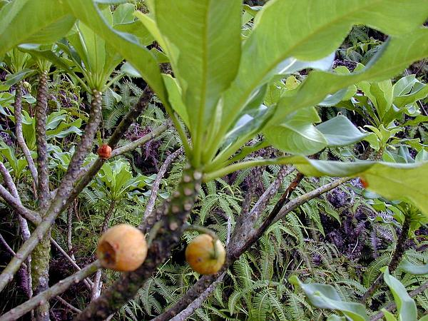 Forest Clermontia (Clermontia Kakeana) https://www.sagebud.com/forest-clermontia-clermontia-kakeana