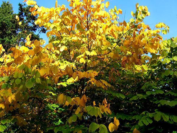 Kentucky Yellowwood (Cladrastis Kentukea) https://www.sagebud.com/kentucky-yellowwood-cladrastis-kentukea/