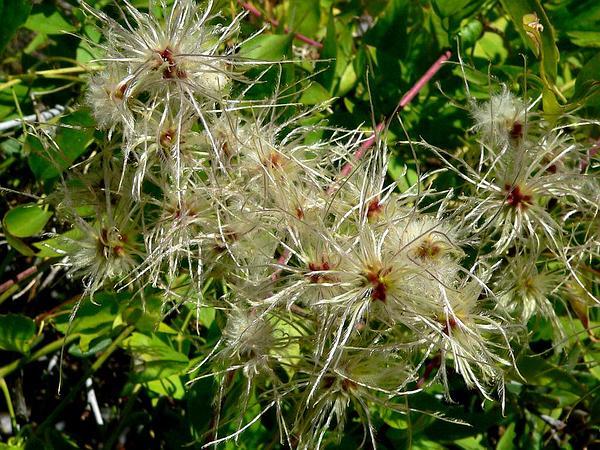 Western White Clematis (Clematis Ligusticifolia) https://www.sagebud.com/western-white-clematis-clematis-ligusticifolia