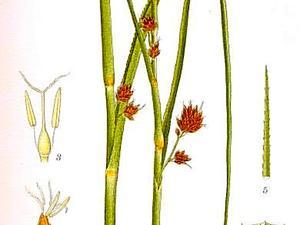 Swamp Sawgrass