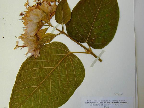 Velvetleaf Glorybower (Clerodendrum Macrostegium) https://www.sagebud.com/velvetleaf-glorybower-clerodendrum-macrostegium