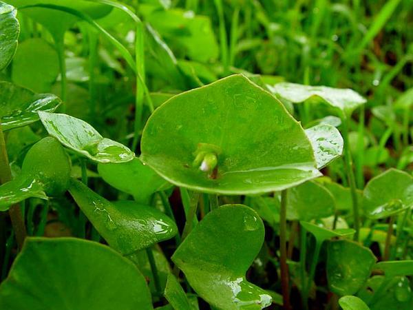 Miner's Lettuce (Claytonia Perfoliata) https://www.sagebud.com/miners-lettuce-claytonia-perfoliata