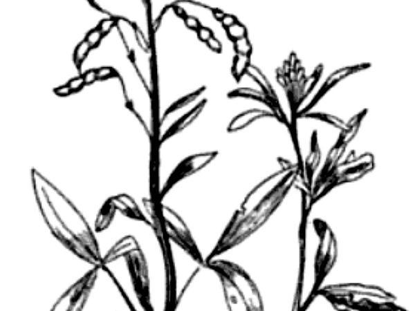 Rocky Mountain Beeplant (Cleome Serrulata) https://www.sagebud.com/rocky-mountain-beeplant-cleome-serrulata