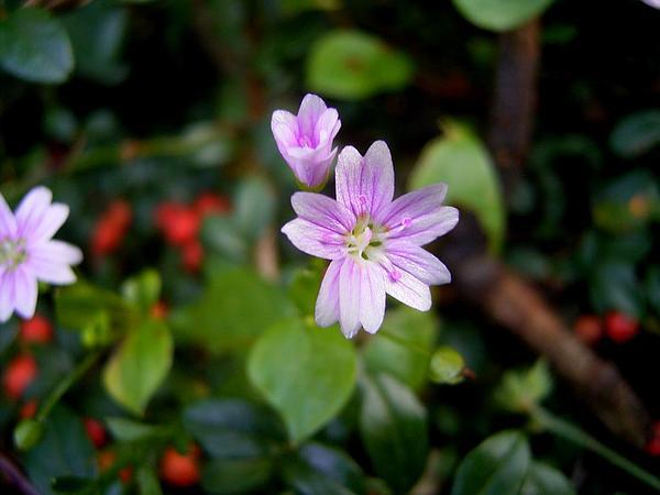 Siberian Springbeauty (Claytonia Sibirica) https://www.sagebud.com/siberian-springbeauty-claytonia-sibirica