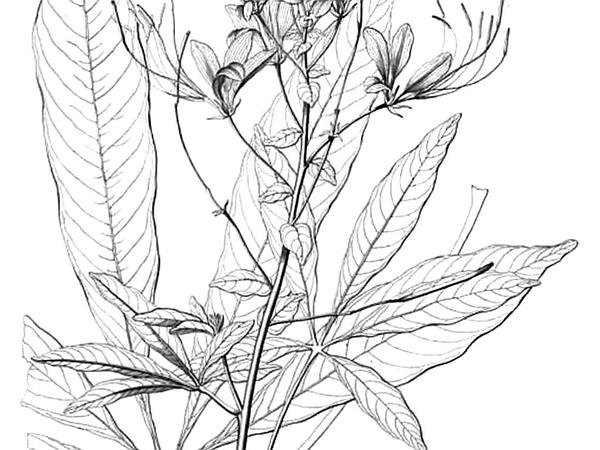 Volantines Preciosos (Cleome Speciosa) https://www.sagebud.com/volantines-preciosos-cleome-speciosa