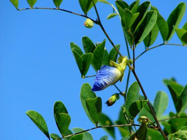 Asian Pigeonwings (Clitoria Ternatea) https://www.sagebud.com/asian-pigeonwings-clitoria-ternatea