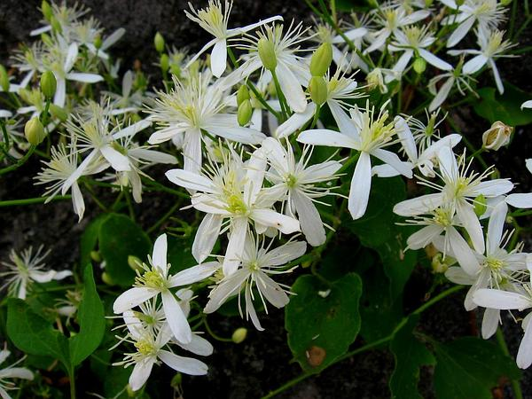 Sweet Autumn Virginsbower (Clematis Terniflora) https://www.sagebud.com/sweet-autumn-virginsbower-clematis-terniflora