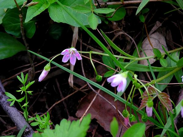 Virginia Springbeauty (Claytonia Virginica) https://www.sagebud.com/virginia-springbeauty-claytonia-virginica