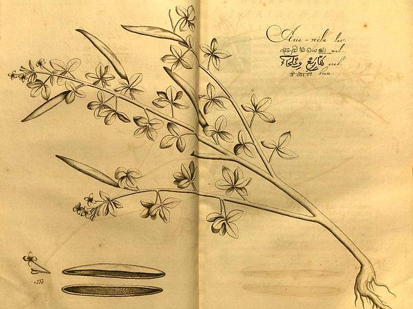 Asian Spiderflower (Cleome Viscosa) https://www.sagebud.com/asian-spiderflower-cleome-viscosa