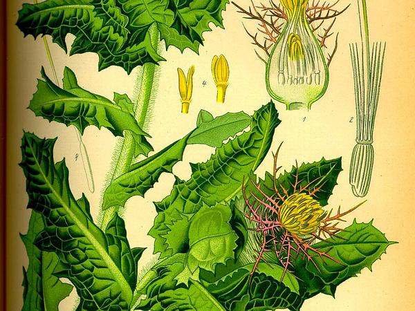 Blessed Thistle (Cnicus Benedictus) https://www.sagebud.com/blessed-thistle-cnicus-benedictus