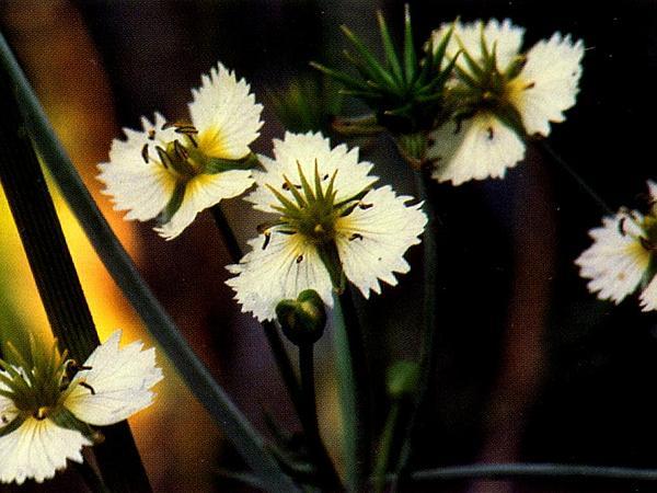 California Damsonium (Damasonium Californicum) https://www.sagebud.com/california-damsonium-damasonium-californicum/
