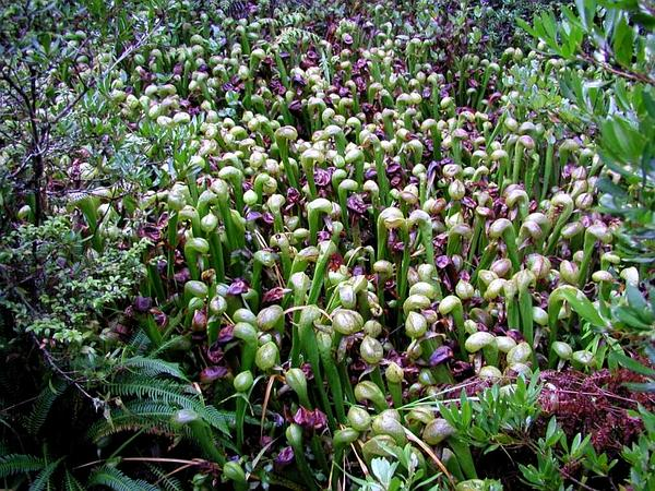 California Pitcherplant (Darlingtonia Californica) https://www.sagebud.com/california-pitcherplant-darlingtonia-californica