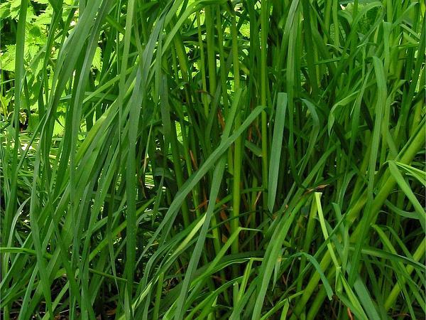 Orchardgrass (Dactylis) https://www.sagebud.com/orchardgrass-dactylis