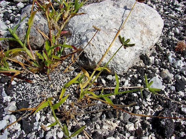 Crowfoot Grass (Dactyloctenium) https://www.sagebud.com/crowfoot-grass-dactyloctenium
