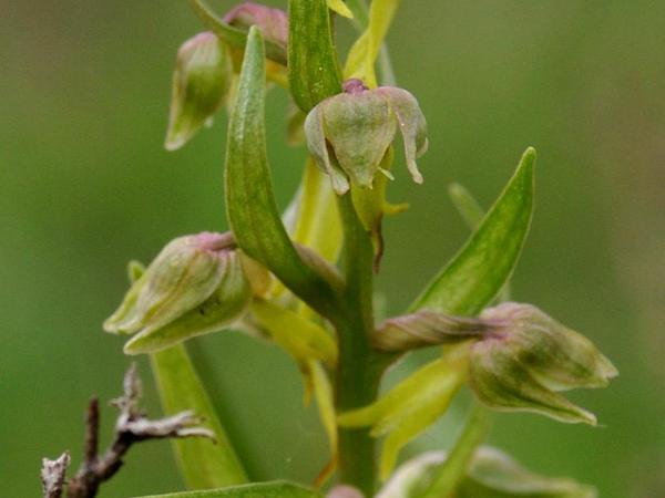 Keyflower (Dactylorhiza) https://www.sagebud.com/keyflower-dactylorhiza