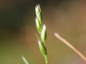 Common Heathgrass