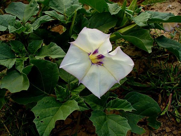 Desert Thorn-Apple (Datura Discolor) https://www.sagebud.com/desert-thorn-apple-datura-discolor