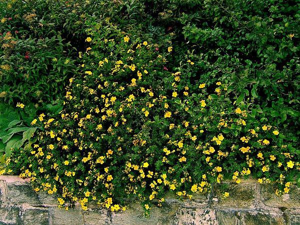 Shrubby Cinquefoil (Dasiphora Fruticosa) https://www.sagebud.com/shrubby-cinquefoil-dasiphora-fruticosa