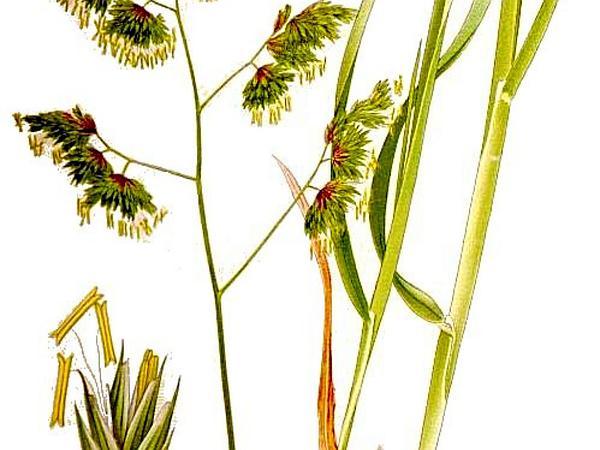 Orchardgrass (Dactylis Glomerata) https://www.sagebud.com/orchardgrass-dactylis-glomerata