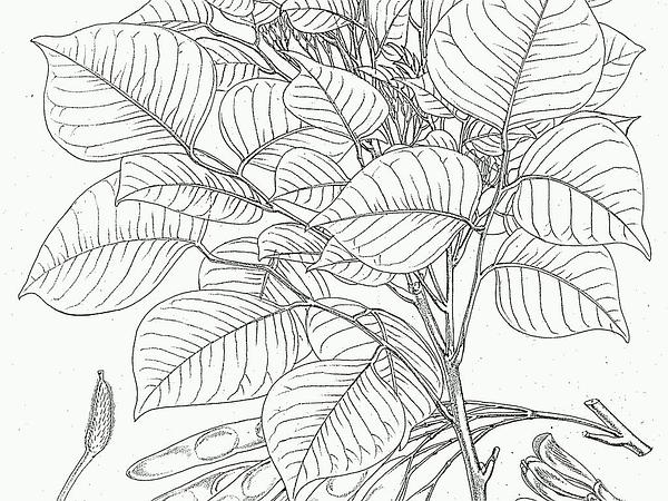 Indian Rosewood (Dalbergia) https://www.sagebud.com/indian-rosewood-dalbergia