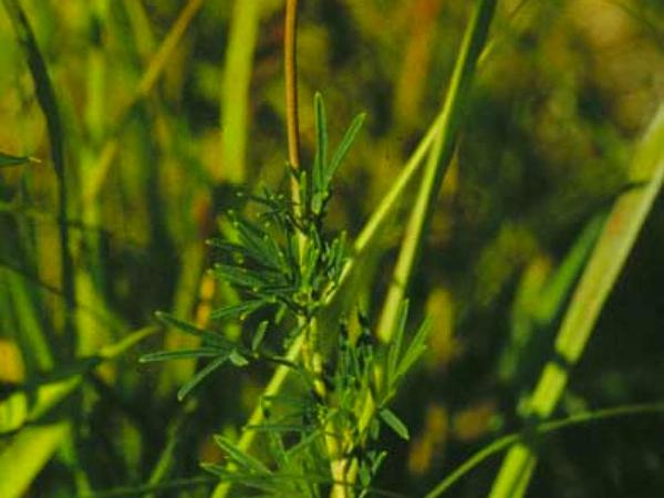 Prairie Clover (Dalea) https://www.sagebud.com/prairie-clover-dalea