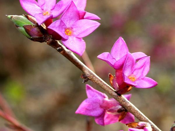 Paradise Plant (Daphne Mezereum) https://www.sagebud.com/paradise-plant-daphne-mezereum