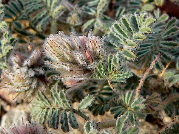 Soft Prairie Clover (Dalea Mollissima) https://www.sagebud.com/soft-prairie-clover-dalea-mollissima