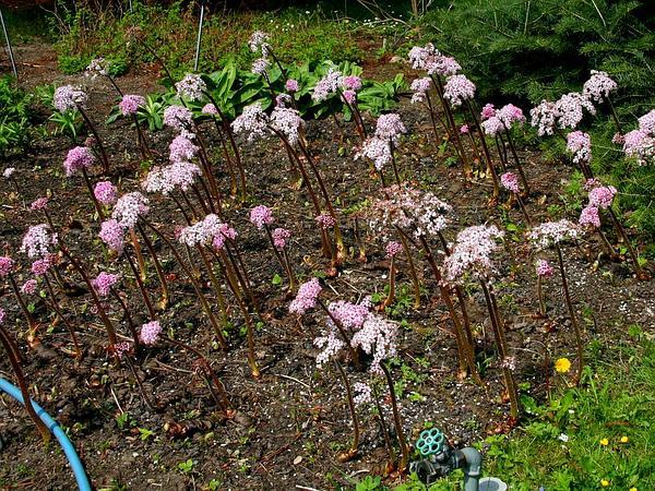 Indian Rhubarb (Darmera Peltata) https://www.sagebud.com/indian-rhubarb-darmera-peltata