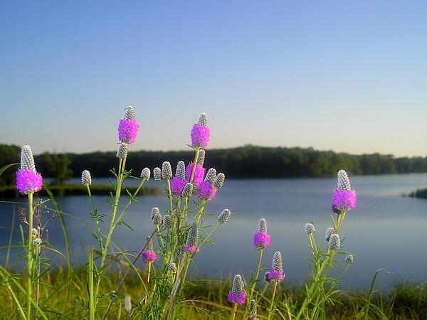 Purple Prairie Clover (Dalea Purpurea) https://www.sagebud.com/purple-prairie-clover-dalea-purpurea