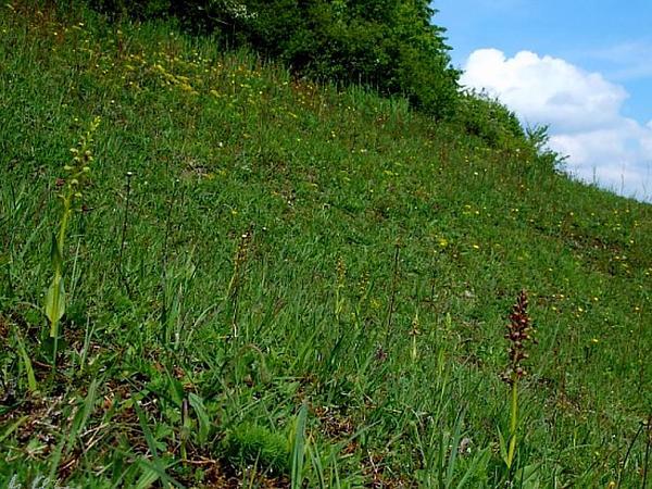 Longbract Frog Orchid (Dactylorhiza Viridis) https://www.sagebud.com/longbract-frog-orchid-dactylorhiza-viridis