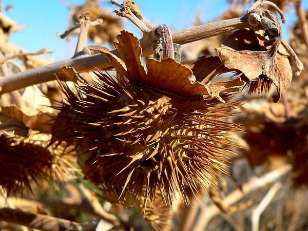 Sacred Thorn-Apple (Datura Wrightii) https://www.sagebud.com/sacred-thorn-apple-datura-wrightii