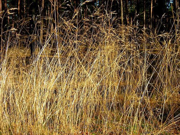 Wavy Hairgrass (Deschampsia Flexuosa) https://www.sagebud.com/wavy-hairgrass-deschampsia-flexuosa