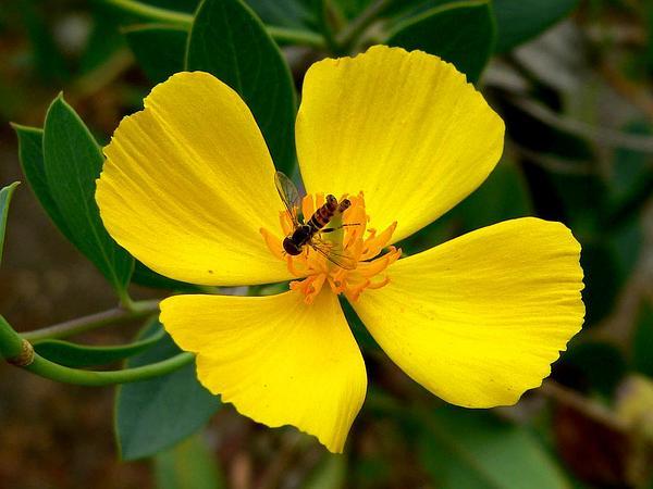 Harford's Tree Poppy (Dendromecon Harfordii) https://www.sagebud.com/harfords-tree-poppy-dendromecon-harfordii