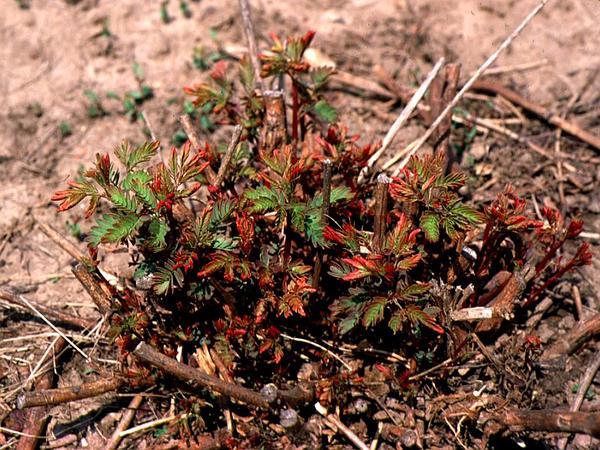 Illinois Bundleflower (Desmanthus Illinoensis) https://www.sagebud.com/illinois-bundleflower-desmanthus-illinoensis