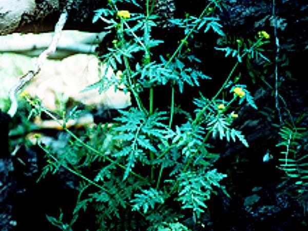 Mountain Tansymustard (Descurainia Incana) https://www.sagebud.com/mountain-tansymustard-descurainia-incana