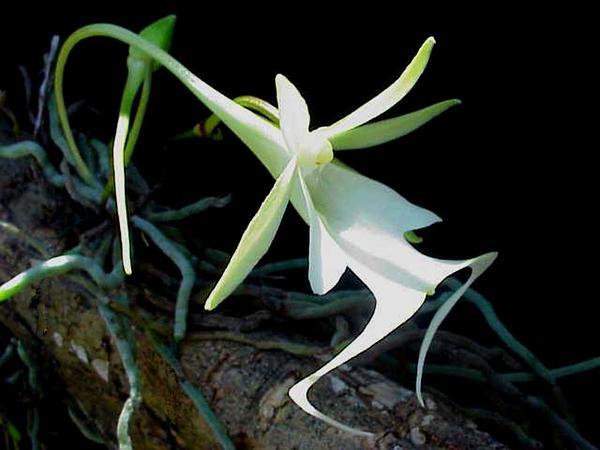 Palmpolly (Dendrophylax Lindenii) https://www.sagebud.com/palmpolly-dendrophylax-lindenii