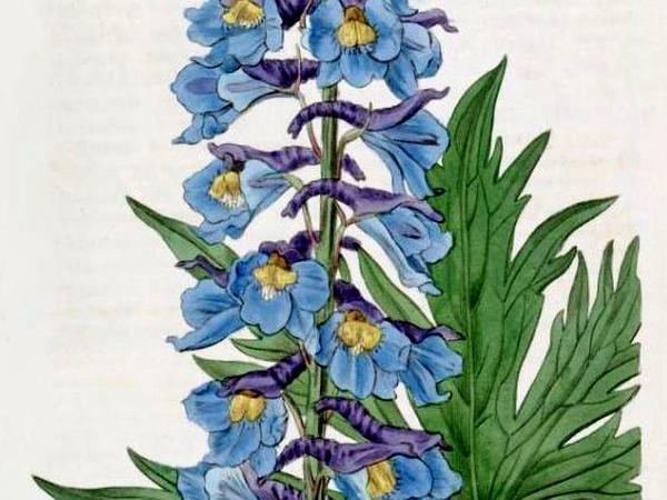 Larkspur (Delphinium) https://www.sagebud.com/larkspur-delphinium