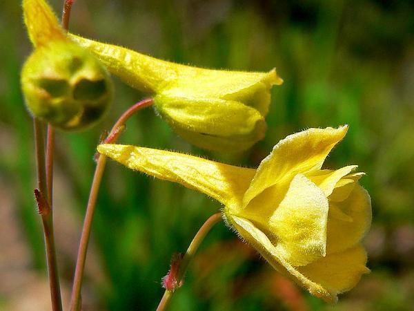Yellow Larkspur (Delphinium Luteum) https://www.sagebud.com/yellow-larkspur-delphinium-luteum/