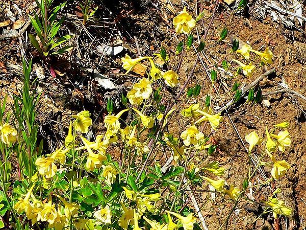 Yellow Larkspur (Delphinium Luteum) https://www.sagebud.com/yellow-larkspur-delphinium-luteum