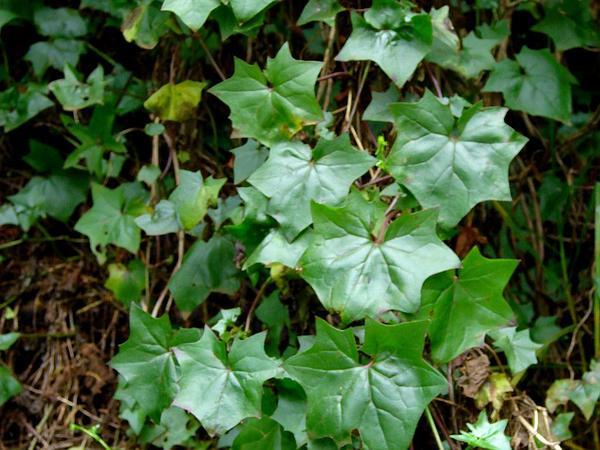 Cape-Ivy (Delairea Odorata) https://www.sagebud.com/cape-ivy-delairea-odorata