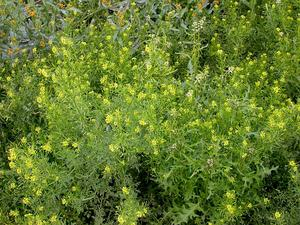 Western Tansymustard