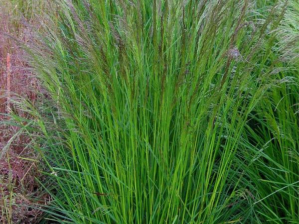 Hairgrass (Deschampsia) https://www.sagebud.com/hairgrass-deschampsia