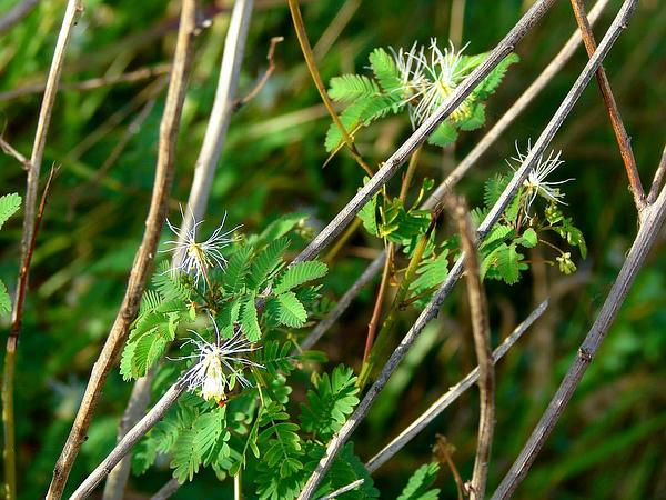 Bundleflower (Desmanthus) https://www.sagebud.com/bundleflower-desmanthus