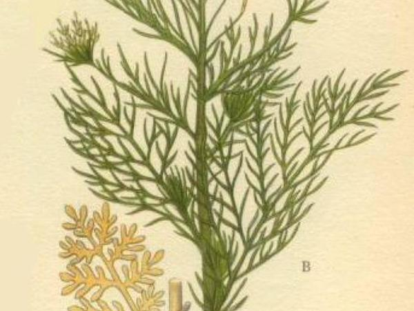 Herb Sophia (Descurainia Sophia) https://www.sagebud.com/herb-sophia-descurainia-sophia